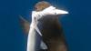 オットセイがサメを捕食する決定的瞬間が撮影され海洋生物学者が困惑