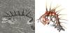 カンブリア紀の珍生物「ハルキゲニア」、また復元図が書き換えられる 実は前後も逆だった