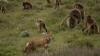 サルが野生のオオカミを飼い慣らして集団生活しているのが確認される
