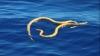 絶滅したはずのウミヘビ、オーストラリアに現る